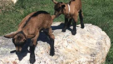 Twin Bucks, Sybil's Boys
