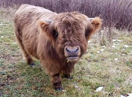 Scottish Highland Cattle - Windkist Acres Farm